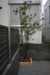 オリーブ空を飛ぶ! ブラシノキ シンボルツリー
